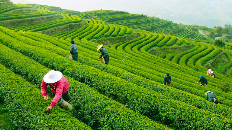 Five Crazy, Fun Facts You Didn't Know About Tea plantations