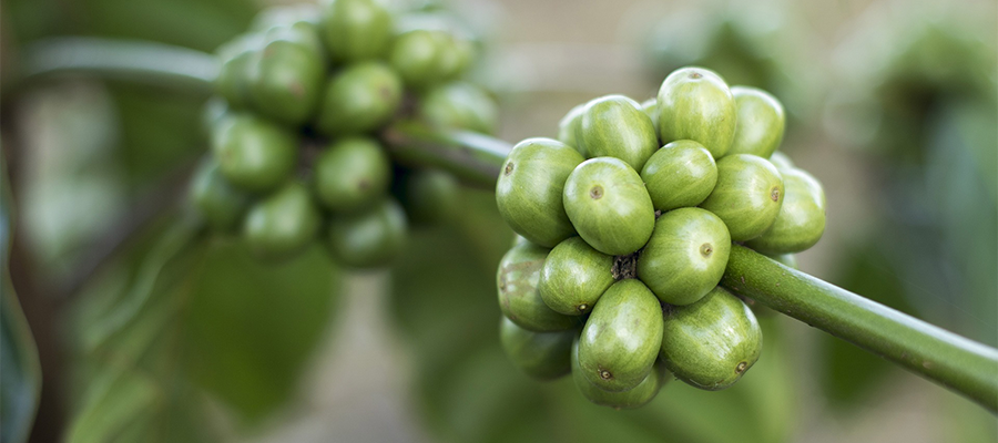 Amazing Facts You Didn't Know About Coffee berries